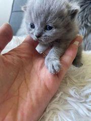Bkh Kitten letzte blaue Weibchen
