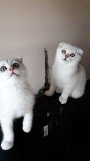 BKH Scottish Fold Kitten Reinrassig