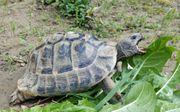 Griechische Landschildkröte - 18 Jahre männlich