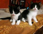 Rassemix Kitten Perser x Anatoli