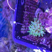 Cribrinopsis crassa - Mini-Anemone Koralle