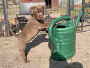 Noch 3 wunderschöne Französische Bulldog
