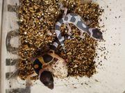 leopardgecko Nachzuchten