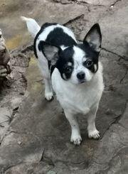 ca 3 jährige Chihuahua Kurzhaarhündin