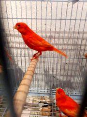 Verkaufe Caropfyll Rot Kanarienvogel