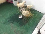 Landes Hühner