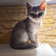 bkh Britishkurzhaar kitten