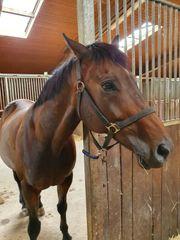 12 jähriger Irish-horse Wallach zu