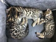 Zuckersüße Bengal Edelmix-Kitten suchen liebevolles