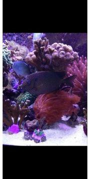 Kaninchenfisch Siganus Stellatus Salzwasser Meerwasser