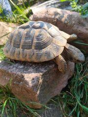 1 griechische Landschildkröte männlich 8