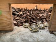 Schildkröten Babys - Landschildkröten - Testudo hermanni