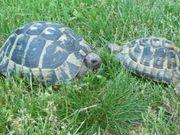 Griechische Landschidkröten