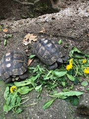 Pärchen Maurische Landschildkröte Schildkröte