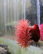 Purpurrosen Erdbeerrose Actinia equina