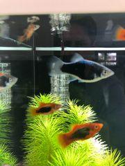 Platy Jungfische grau und orange