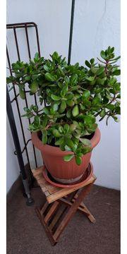 Affenbrotbaum 4 jahre alt 70