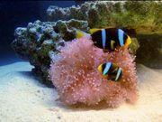 Clownfisch Pärchen mit Anemone