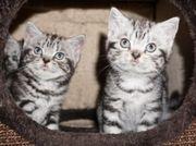 Reinrassige BKH Whiskas Kitten abholbereit