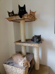 Maine Coon Kitten reinrassig Jungs