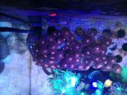 Koralle Ableger Meerwasser Zoanthus Alien