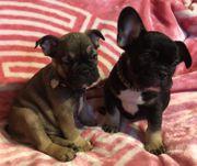 Französische Bulldoggen Welpen Rüde