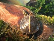 Rückenstreifen Zierschildkröten Chrysemys picta dorsalis