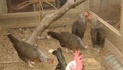 Zwerg Dorking - silber - Hennen - von