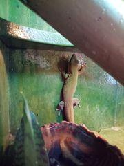 Phelsuma Kochi Terrarium gecko
