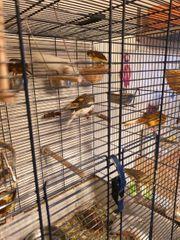 Kanarienvögel abzugeben