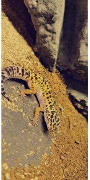 3 Leopardgeckos mit Zubehör und