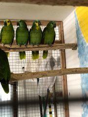 1 3 Blaustirn Amazonen