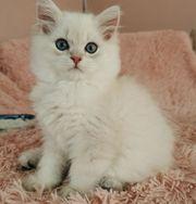 exzellentes BLH Kitten silver point