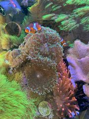 Korallen - Rhodactis sp grün Scheibenanemone