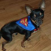 Deckrüde Mini mini Chihuahua xxs