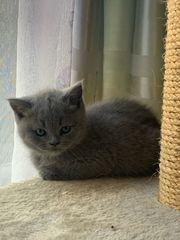 BKH Scottish-Fold Kitten