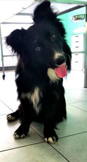 aktiver kleiner Border Collie Mix
