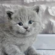 Britisch Kurzhaar Kätzchen BKH KITTEN