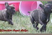 Französische Bulldogge Welpen mit Papiere