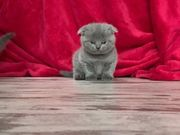 BKH - Scottish Fold Kitten