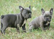 Französische Bulldoggen blau