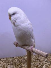 Lacewing - Standardwellensittich Schauwellensittich Henne