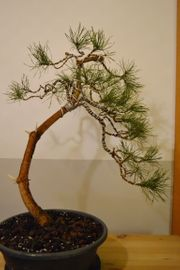 Bonsai Waldkiefer Kiefer Pinus sylvestris