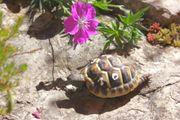 schöne rundgewachsene griechische Landschildkröten ab