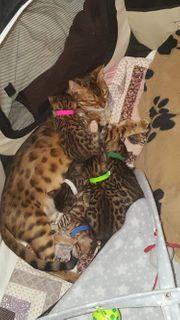 Reinrassige Kitten