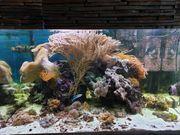 Meerwasser Weich- und Lederkorallen