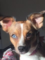 Chihuahua- Jack Russel Hündin