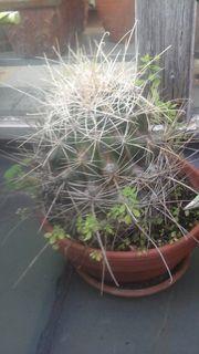 Kaktus zu verkaufen