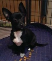 Chihuahua Jackrussel Mischling