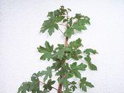 Feldahorn Acer campestre 75 cm